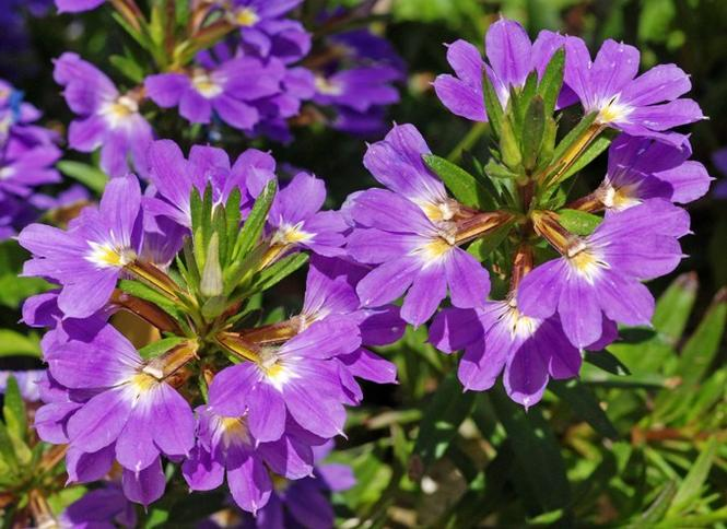 Kwiaty na balkon: scewola