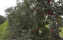 Pielęgnacja drzew owocowych - jak chronić je przed szkodnikami i chorobami?