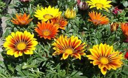 Kwiaty doniczkowe na balkon i taras. Nowe odmiany roślin