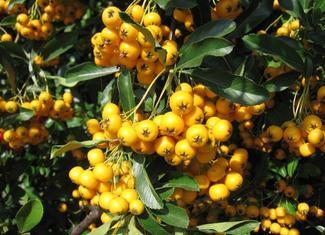 Drzewa i krzewy z barwnymi owocami: ognik szkarłatny