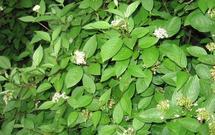 Dereń biały (Cornus Alba) w ogrodzie - dobry krzew na żywopłot